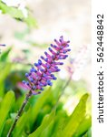 Small photo of Matchstick Bromeliad,aechmea gamosepala flower pink and blue in garden