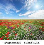 spring flowers  in meadow.... | Shutterstock . vector #562557616