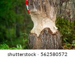 beavers building a dam in a...   Shutterstock . vector #562580572