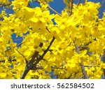 Detail Of Forsythia Plant ...