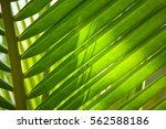 lush foliage   Shutterstock . vector #562588186