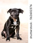 Small photo of American Pit Bull Terrier puppy