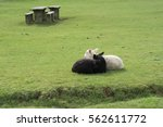 black and white lambs nuzzle up ... | Shutterstock . vector #562611772