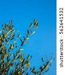 Small photo of Olive aka Olea Europaea tree hdr