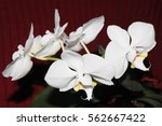 Five White Orchids With Leaves