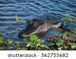 American Alligator  A....