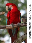 bright red parrot on perch... | Shutterstock . vector #562777816
