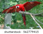 Bright Red Parrot Flying Off...