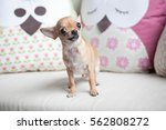 Funny Chihuahua Puppy On The...