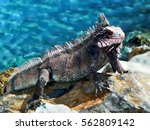 the green iguana  iguana iguana ... | Shutterstock . vector #562809142