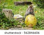 Macaque  Macaca Fascicularis ...