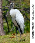 wood stork in florida | Shutterstock . vector #562863022