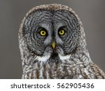 Wild Great Grey Owl Portrait