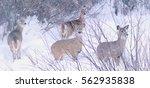 Whitetail Deer Herd Peering...