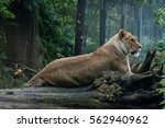 Lioness Laying On A Fallen Tre...