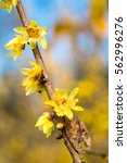Small photo of blooming wintersweet flower,yellow chimonanthus fragrans in cold winter
