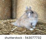 Cute Lionhead Rabbit Sitting O...