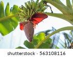 Young Banana Blossom