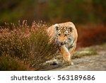 cute bengal tiger cub | Shutterstock . vector #563189686