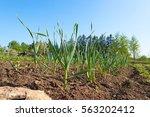 view of green fresh rows garlic ...