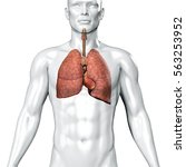 3d illustration human body lungs | Shutterstock . vector #563253952