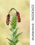 Small photo of Two Bloodword burnet moth (Zygaena laeta) rest in the plant