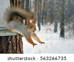 Stock photo red squirrel jumps from tree 563266735