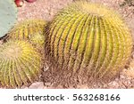 Small photo of Echinocactus grusonii, barrel cactus, golden barrel cactus, a cactus with single or clustered stems, globose, up to 1 m in diam with 20-40 ribs and golden yellow spines becoming paler with age