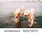 Two Golden Retrievers In Water...