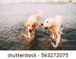 Two Golden Retrievers In Water...