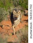 Coyote Running  Toward The...