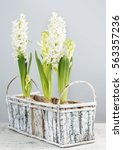 White Hyacinth Flowers Inside...