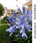Small photo of Blue Agapanthus Flower