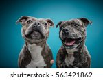 Stock photo two staff bull terriers trying to catch a treat together 563421862