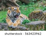 young bengal tiger lying on the ... | Shutterstock . vector #563423962