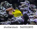 Yellow Tang  Zebrasoma...