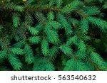 young green fir tree branches   Shutterstock . vector #563540632