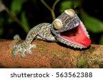 Giant Leaf Tail Gecko ...