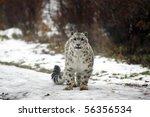 Snow Leopard Looking Ahead