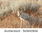 Coyote walking in grass, Wyoming, Grand Teton National Park,