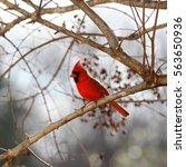 Male Cardinal On Crepe Myrtle...