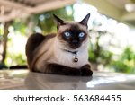 Stock photo siamese cat resting on the floor 563684455