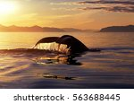 humpback whale tail with... | Shutterstock . vector #563688445