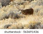 Deer  Mule Deer  Buck With...