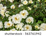 Small photo of White rose.