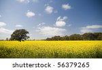 Canola crops grow beneath a hot sun - stock photo
