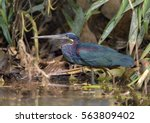 Small photo of Agami Heron (Agamia agami) - Laguna Lagarto Lodge near Boca Tapada, Costa Rica