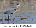 great blue heron   ardea... | Shutterstock . vector #563809486