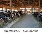Dairy Cows Eating Hay In A...