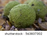 Small photo of Adam's apple exotic fruits, medicinal fruits. Fruit of an osage apple orange (Adam's apple)